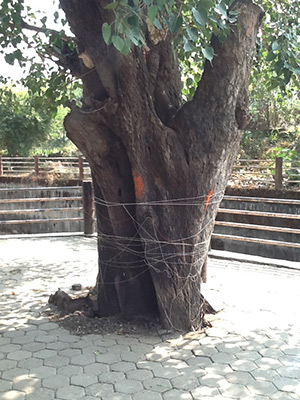 Tree-near-Gayatri-Temple,-Tryambakeshwar